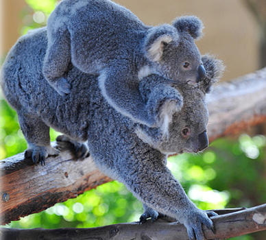 El koala portea a su bebé